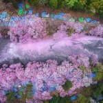 15 Stunning Pictures Of Japan's Cherry Blossom Will Soothe Your Heart