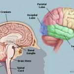 İkinci Beyin Nedir? Gerçekten Birden Fazla Beynimiz Olabilir mi?